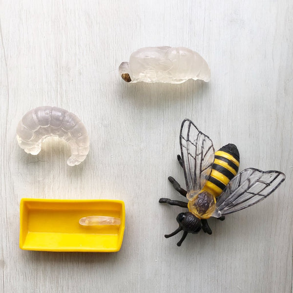 Safariology | Life Cycle Of A Honey Bee