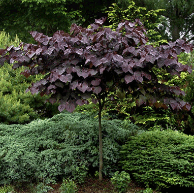 Seven Shade Loving Trees for a Low Light Yard