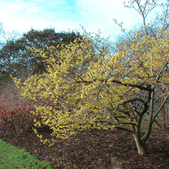 Witch Hazel - Hamamelis