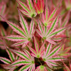 Japanese_Maple_Red_Green