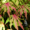 Japanese_Maple_Green_Red