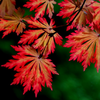 Japanese_Maple_Red_Orange
