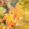 Japanese_Maple_Yellow_Orange