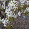 Serviceberry_Flowers