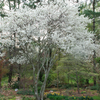 Serviceberry_Tree_Flowers