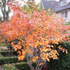 Serviceberry_Tree_Fall_Color