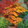 Japanese_Maple_Tree_Orange_Yellow