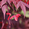 Japanese_Maple_Red
