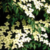 Milky Way Kousa Dogwood Tree
