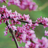 Redbud Tree Blooms Flowers