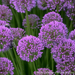 Millenium Allium close up