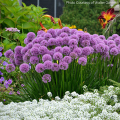 Millenium Allium in a Garden Bed