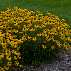 Black Eye Susan - American Gold Rush - Rudbeckia