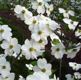 Appalachian Joy Dogwood