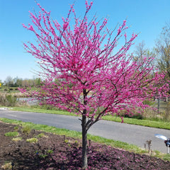 Appalachian Red Redbud