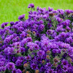 Aster novae-angliae 'Grape Crush'