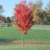 Autumn Blaze Red Maple