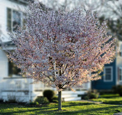 Autumn Cherry Tree - 'Autumnalis'