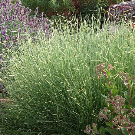 'Blonde Ambition'  Blue Gama Grass
