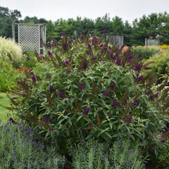 Buddleia ' Dark Dynasty' MONARCH® Collection