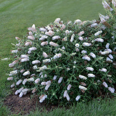 Buddleia 'Little Angel' Humdinger® Collection