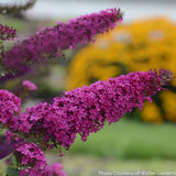 Buddleia ' Queen of Hearts' MONARCH® Collection