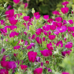 Callirhoe involucrata - Wine Cups - Purple Poppy Mallow