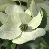 Hybrid White Dogwood (Compare to Celestial Dogwood®)