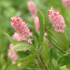 Ruby Spice Clethra - Summersweet