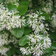 China Snow Fringe Tree