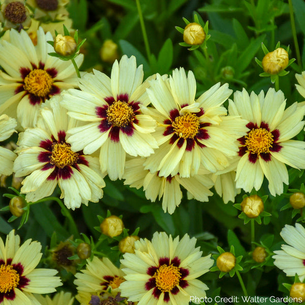 Coreopsis UPTICK™ Cream & Red - Tickseed