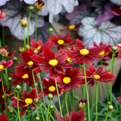 Coreopsis 'Red Elf' - Tickseed