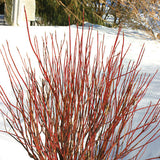 Arctic Fire® Red Twig Dogwood