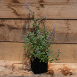 Catmint - Walker's Low - Nepeta