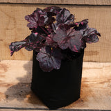 Heuchera 'Midnight Rose' - Coral Bells