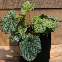 Heuchera 'Green Spice' - Coral Bells