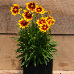 Coreopsis UPTICK™ Gold & Bronze - Tickseed