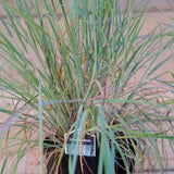 Little Blue Stem Grass