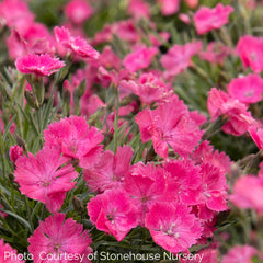 Dianthus Vivid™ Bright Light - Pinks