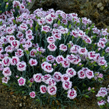 Dianthus Poppers™ 'Kiss and Tell' - Pinks
