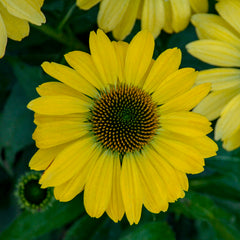 Echinacea 'Canary Feather' Coneflower