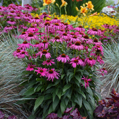 Echinacea 'Purple Emperor' - Coneflower