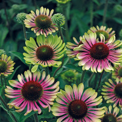 Echinacea 'Green Twister' - Coneflower