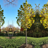 Exclamation!™ London Planetree - Sycamore