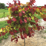 Flame Thrower®  Redbud