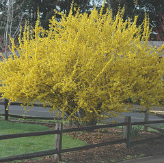 Spring Gold Forsythia