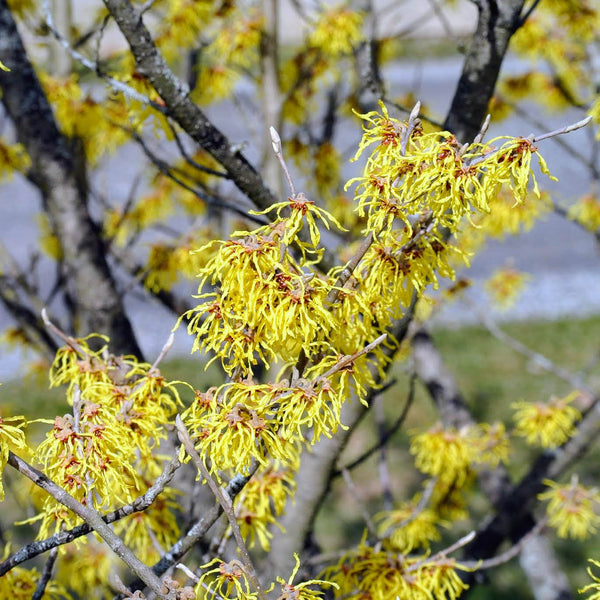 Harvest Moon Witch Hazel