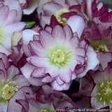 Helleborus WEDDING PARTY 'Blushing Bridesmaid' - Lenten Rose