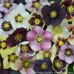 Helleborus HONEYMOON® Series Mix - Lenten Rose