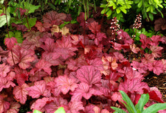 Heuchera 'Berry Smoothie' - Coral Bells